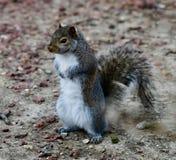 Γκρίζος σκίουρος #11 στοκ φωτογραφίες