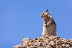 γκρίζος σκίουρος Στοκ Εικόνα