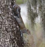Γκρίζος σκίουρος Στοκ Φωτογραφίες