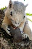 γκρίζος σκίουρος Στοκ φωτογραφία με δικαίωμα ελεύθερης χρήσης