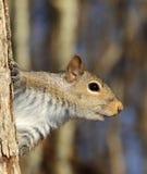 γκρίζος σκίουρος Στοκ εικόνα με δικαίωμα ελεύθερης χρήσης