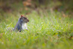 γκρίζος σκίουρος Στοκ εικόνες με δικαίωμα ελεύθερης χρήσης