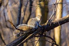 γκρίζος σκίουρος Στοκ Εικόνες