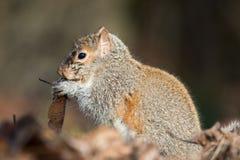 Γκρίζος σκίουρος Eatern Στοκ φωτογραφία με δικαίωμα ελεύθερης χρήσης
