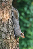 γκρίζος σκίουρος sciurus carolinensis Στοκ Εικόνες