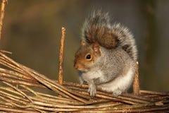 γκρίζος σκίουρος sciurus carolinensis Στοκ εικόνα με δικαίωμα ελεύθερης χρήσης