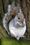 γκρίζος σκίουρος sciurus carolinensis Στοκ Φωτογραφίες