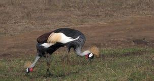 Γκρίζος στεμμένος γερανός, regulorum balearica, ζευγάρι στο πάρκο του Ναϊρόμπι στην Κένυα, απόθεμα βίντεο
