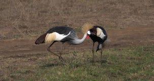Γκρίζος στεμμένος γερανός, regulorum balearica, ζευγάρι στο πάρκο του Ναϊρόμπι στην Κένυα, φιλμ μικρού μήκους