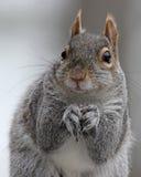 Γκρίζος στενός επάνω squirre Στοκ Φωτογραφίες