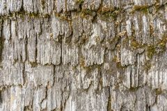 Γκρίζος φλοιός δέντρων με τη σύσταση υποβάθρου βρύου Στοκ Φωτογραφίες