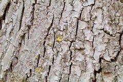 Γκρίζος φλοιός δέντρων Στοκ φωτογραφία με δικαίωμα ελεύθερης χρήσης