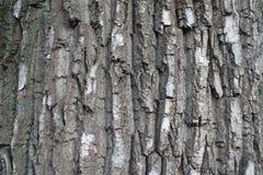 Γκρίζος φλοιός του παλαιού μαύρου δέντρου λευκών Στοκ Εικόνα