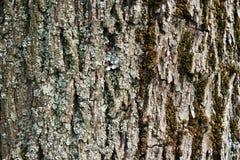 Γκρίζος φλοιός του παλαιού δέντρου ως σύσταση Στοκ Εικόνες