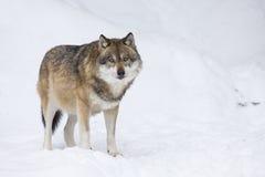 γκρίζος χειμερινός λύκος Στοκ εικόνα με δικαίωμα ελεύθερης χρήσης