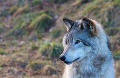 Γκρίζος λύκος βόρειο Κεμπέκ Καναδάς Στοκ εικόνα με δικαίωμα ελεύθερης χρήσης
