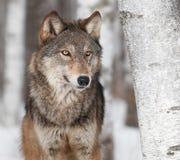 Γκρίζος λύκος (Λύκος Canis) από το δέντρο σημύδων Στοκ φωτογραφίες με δικαίωμα ελεύθερης χρήσης
