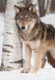 Γκρίζος λύκος (Λύκος Canis) από το δέντρο σημύδων Στοκ Εικόνα