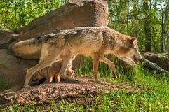 Γκρίζος λύκος (Λύκος Canis) και διαγώνιες πορείες κουταβιών Στοκ φωτογραφία με δικαίωμα ελεύθερης χρήσης