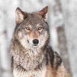Γκρίζος λύκος (Λύκος Canis) με μια πλάτη αυτιών Στοκ Εικόνες