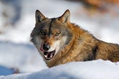 Γκρίζος λύκος, Λύκος Canis, πορτρέτο με την κολλημένη έξω γλώσσα, στο άσπρο χιόνι Στοκ Εικόνες