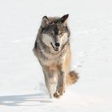 Γκρίζος λύκος (Λύκος Canis) που τρέχει κατ' ευθείαν στο θεατή Στοκ Φωτογραφίες