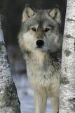 Γκρίζος λύκος, Λύκος Canis Στοκ εικόνα με δικαίωμα ελεύθερης χρήσης
