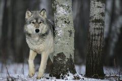 Γκρίζος λύκος, Λύκος Canis Στοκ Φωτογραφία