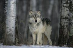 Γκρίζος λύκος, Λύκος Canis Στοκ Εικόνες