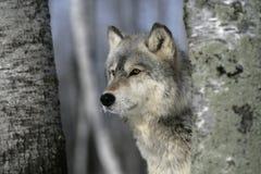 Γκρίζος λύκος, Λύκος Canis Στοκ εικόνες με δικαίωμα ελεύθερης χρήσης