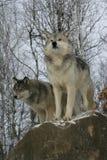 Γκρίζος λύκος, Λύκος Canis Στοκ φωτογραφίες με δικαίωμα ελεύθερης χρήσης