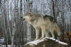 Γκρίζος λύκος, Λύκος Canis Στοκ Φωτογραφίες