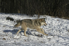 Γκρίζος λύκος, Λύκος Canis Στοκ Εικόνα
