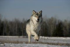 Γκρίζος λύκος, Λύκος Canis Στοκ φωτογραφία με δικαίωμα ελεύθερης χρήσης