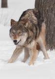 Γκρίζος λύκος (Λύκος Canis) Crouches από το δέντρο Στοκ Εικόνα