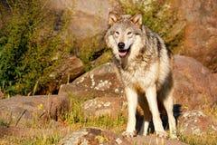 γκρίζος λύκος Λύκου canis Στοκ φωτογραφία με δικαίωμα ελεύθερης χρήσης