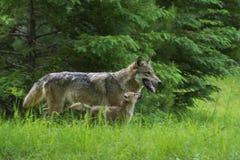 Γκρίζος λύκος με το κουτάβι στην πράσινη χλόη Στοκ εικόνες με δικαίωμα ελεύθερης χρήσης