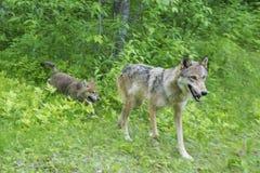 Γκρίζος λύκος με το κουτάβι στην πράσινη χλόη Στοκ εικόνα με δικαίωμα ελεύθερης χρήσης