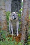 Γκρίζος λύκος ξυλείας Στοκ φωτογραφία με δικαίωμα ελεύθερης χρήσης