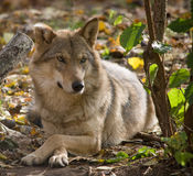 Γκρίζος λύκος που βρίσκεται σε ένα δάσος Στοκ εικόνες με δικαίωμα ελεύθερης χρήσης