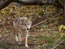 Γκρίζος λύκος που περπατά σε ένα δάσος Στοκ εικόνες με δικαίωμα ελεύθερης χρήσης