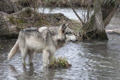 Γκρίζος λύκος που στέκεται στον ποταμό Στοκ Εικόνες