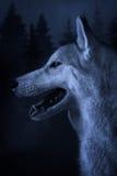 Γκρίζος λύκος σε ένα δασικό υπόβαθρο στοκ φωτογραφία