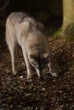 Γκρίζος λύκος στο δάσος στοκ εικόνα με δικαίωμα ελεύθερης χρήσης