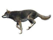 γκρίζος λύκος τρεξίματο&si Διανυσματική απεικόνιση