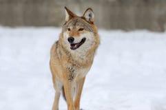 Γκρίζος λύκος Στοκ Εικόνες