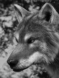 Γκρίζος λύκος Διανυσματική απεικόνιση