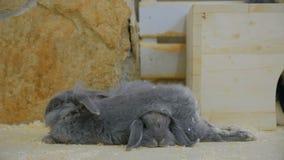 Γκρίζος ύπνος κουνελιών δύο απόθεμα βίντεο