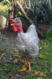 Γκρίζος - necked κόκκορας φαλακρό ΙΙ Στοκ φωτογραφία με δικαίωμα ελεύθερης χρήσης