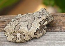 Γκρίζος Treefrog ή βάτραχος δέντρων, Hyla versicolor στοκ φωτογραφίες